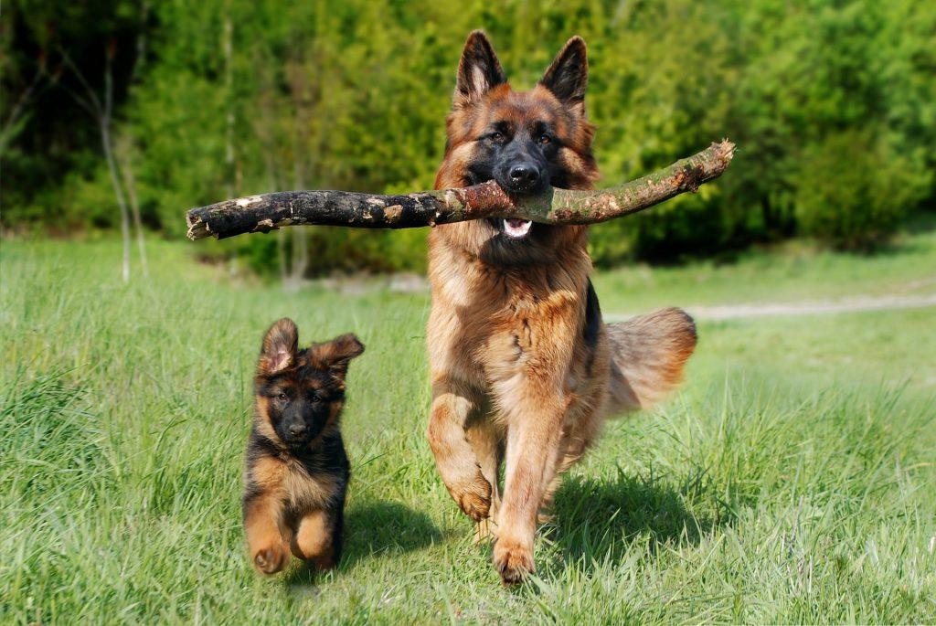 twee Duitse herders